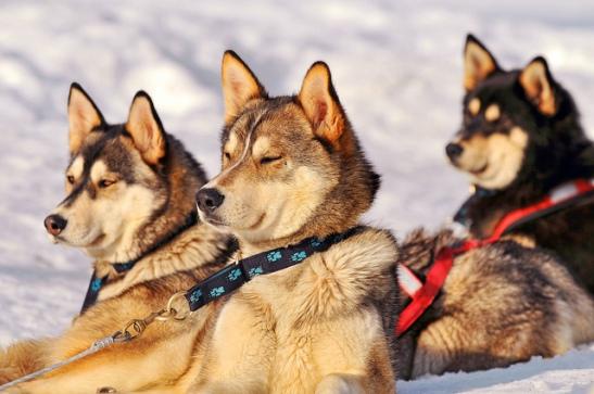 Arctic trip huskies